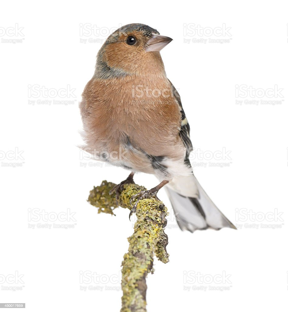 Male Common Chaffinch on a branch- Fringilla coelebs stock photo