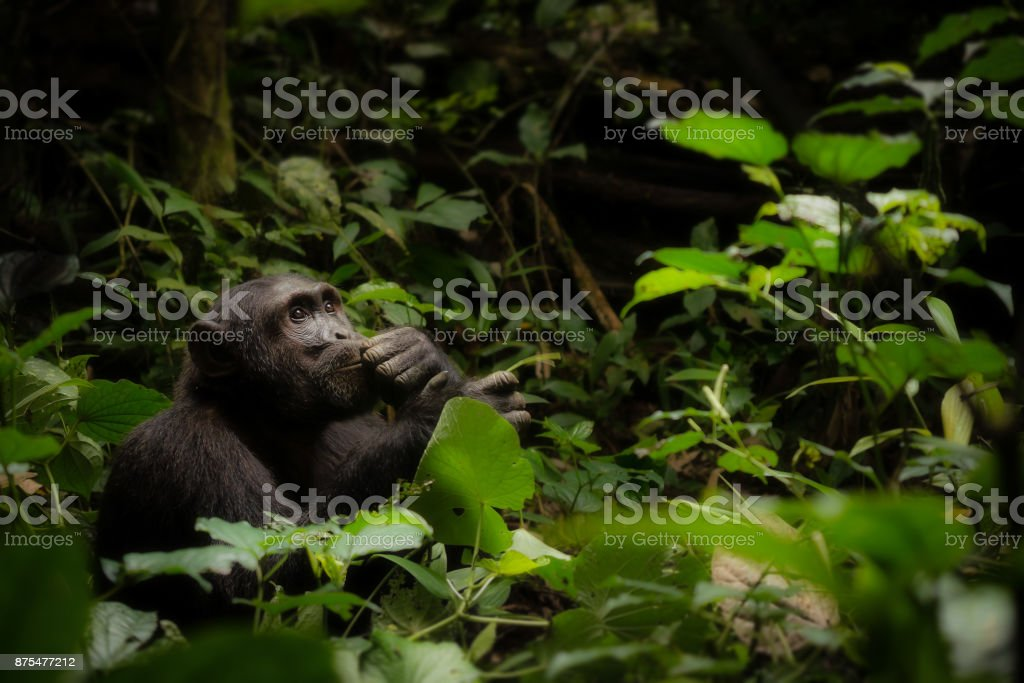 A male common chimpanzee (genus - Pan) sitting in the thick forest looking up at the sky, with his hand on his chin, as though he is in contemplation. Kibale National Park, Uganda. stock photo