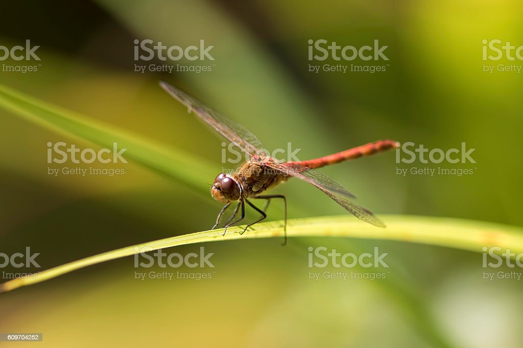 Male common darter dragonfly - Sympetrum striolatum stock photo
