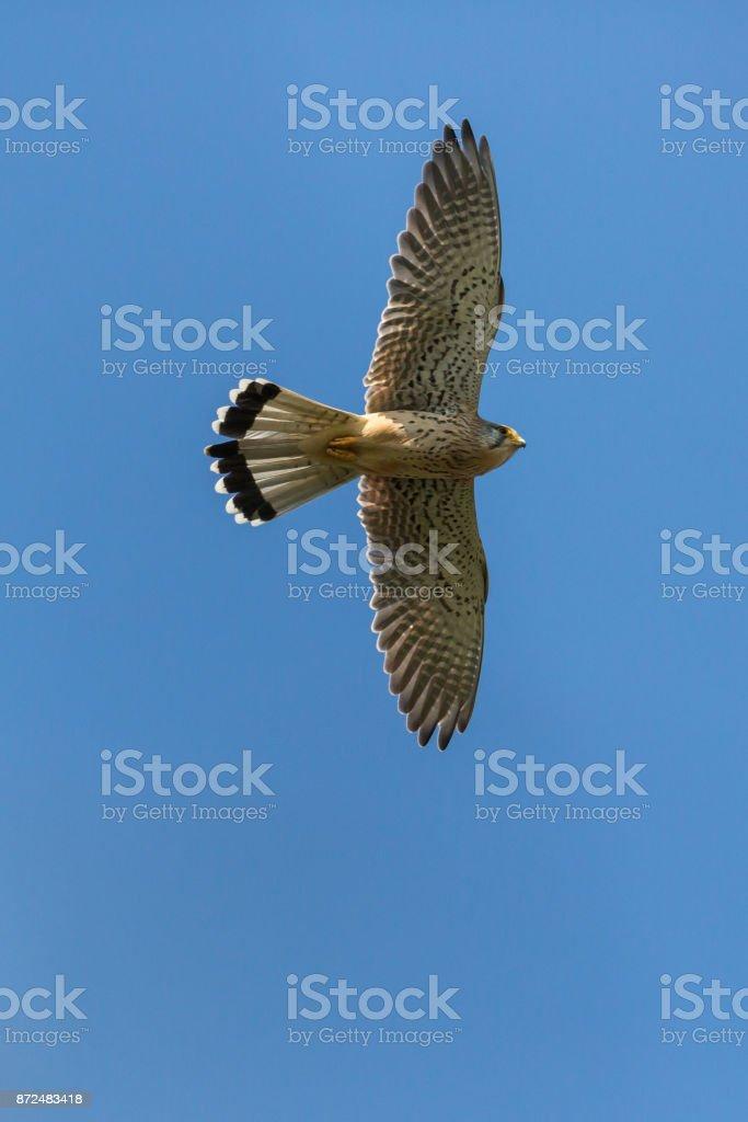 männliche Turmfalken (Falco Tinnunculus) Flug blauen Himmel – Foto