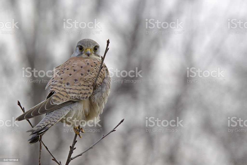 Male common kestrel perched looking to the camera. stock photo