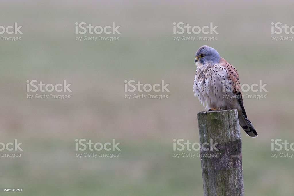 Male common kestrel perched on a wooden pole. stock photo