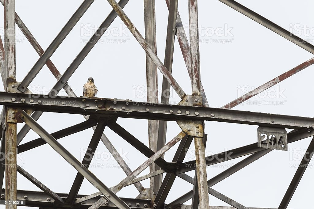 Male common kestrel perched up high on a metal construction. stock photo
