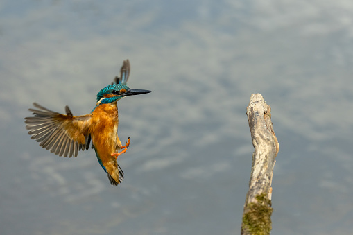 Landing male common kingfisher (Alcedo atthis)