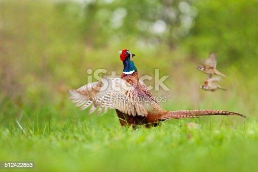 1065862132 istock photo Male Common pheasant 512422853