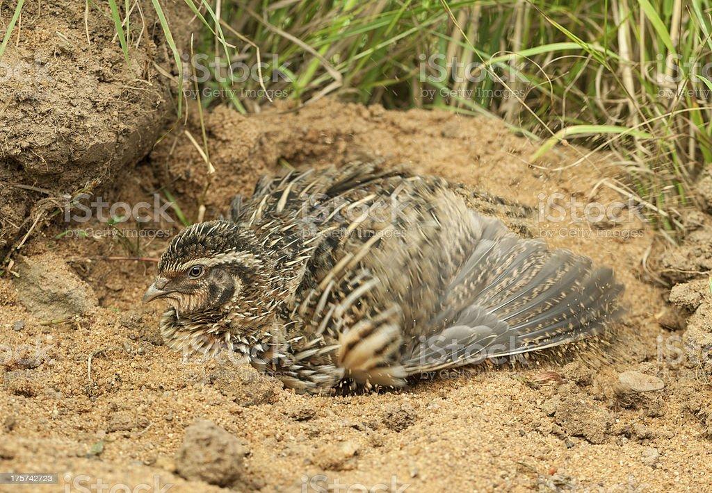 Male Common Quail (Coturnix coturni.) Sandbathing stock photo