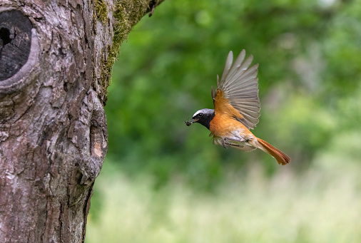 Male common redstart (Phoenicurus phoenicurus) flying with prey to a tree hole for feeding the nestlings.