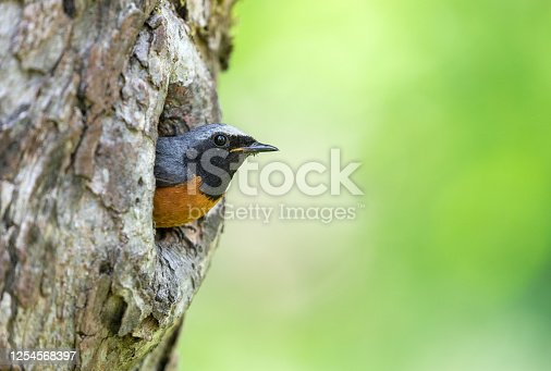 Male common redstart (Phoenicurus phoenicurus) looking out of a tree hole.