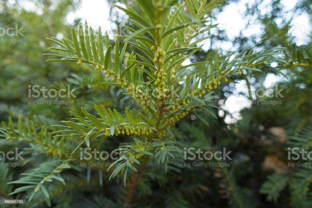 Male cones buds on branches of yew stock photo