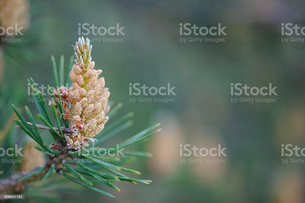 Male cones of Scots pine stock photo