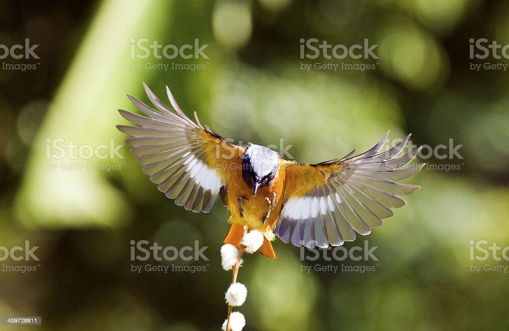 male Daurian Redstart in flight,Phoenicurus auroreus stock photo