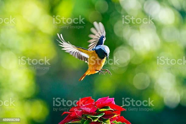 Male daurian redstart in flightphoenicurus auroreus picture id459956269?b=1&k=6&m=459956269&s=612x612&h=2sq dxpnfrk5h1z  gsaw5atbssluahm ayocepq1ca=