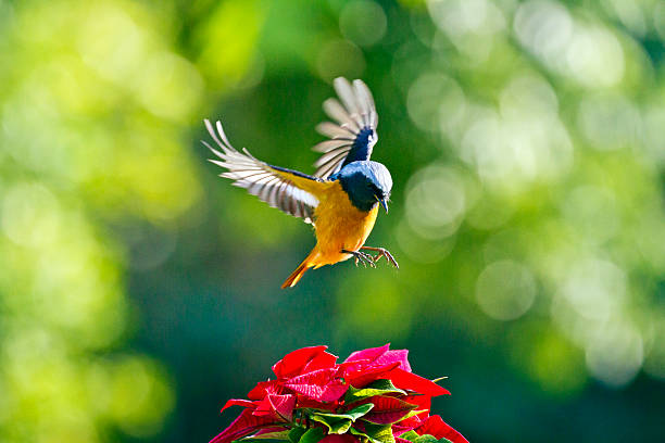 male daurian redstart in flight,phoenicurus auroreus - bird stock photos and pictures