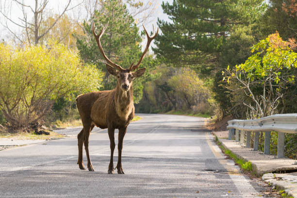 Male deer at the road of Parnitha mountain in Greece. stock photo