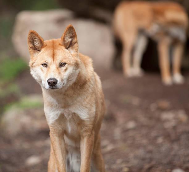 Male Dingo stock photo