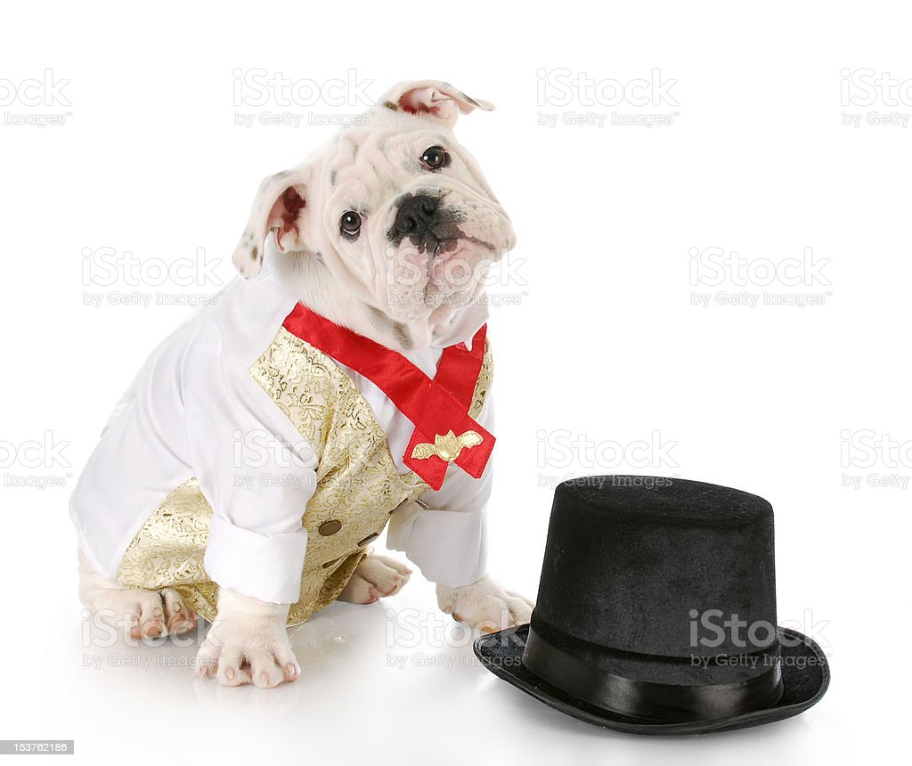 male dog dressed up royalty-free stock photo