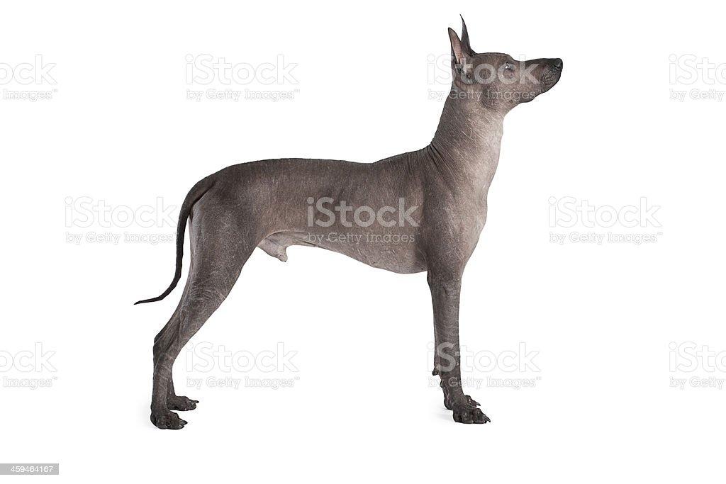 Männliche Hund Mexikanische Xoloitzcuintle Stock-Fotografie und mehr ...