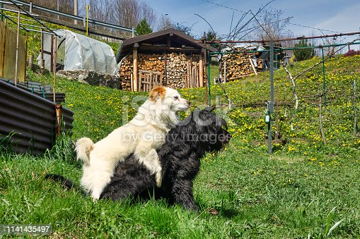 Male dog mounts another male dog to demonstrate dominance