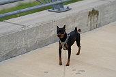 istock Male Dog (Min Pin) 1216708882