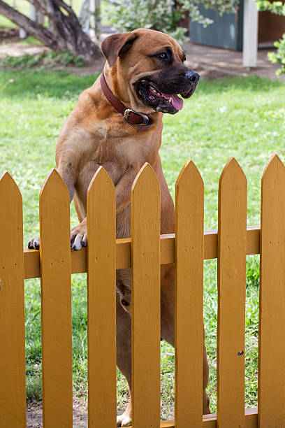 Male dog standing at yellow picket fence stock photo