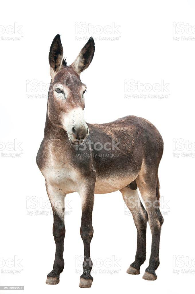 Male donkey on white background – Foto