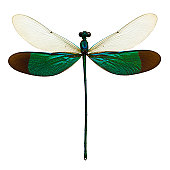 dragonfly (neurobaiss chinensis) taxidermy insect male isolated on white