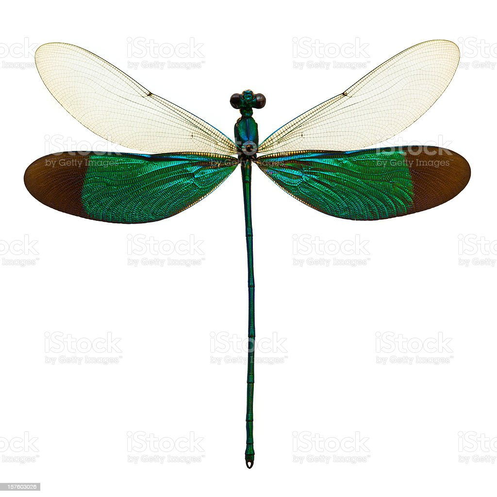 male dragonfly taxidermy stock photo