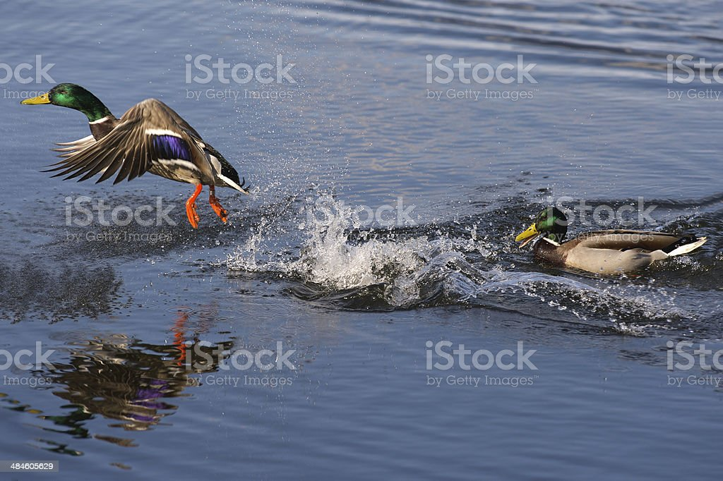Male duck escapes from another aggressive male stock photo