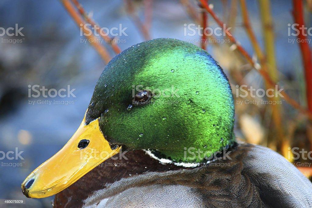 Male Duck Mallard very detailed stock photo