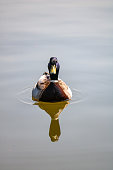 male duck on a lake with reflection, Nordirchen, Germany