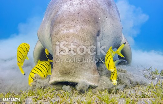 The dugong is a medium-sized marine mammal. It is one of four living species of the order Sirenia, which also includes three species of manatees. It is the only living representative of the once-diverse family Dugongidae; its closest modern relative, Steller's sea cow (Hydrodamalis gigas), was hunted to extinction in the 18th century. The dugong is the only strictly marine herbivorous mammal, as all species of manatee use fresh water to some degree.