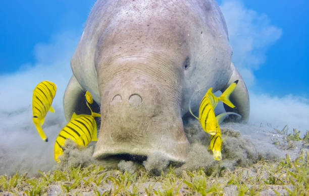 Male Dugong and Golden trevally (Gnathanodon speciosus) feeding on seagrass beds in Red Sea - Marsa Alam - Egypt stock photo