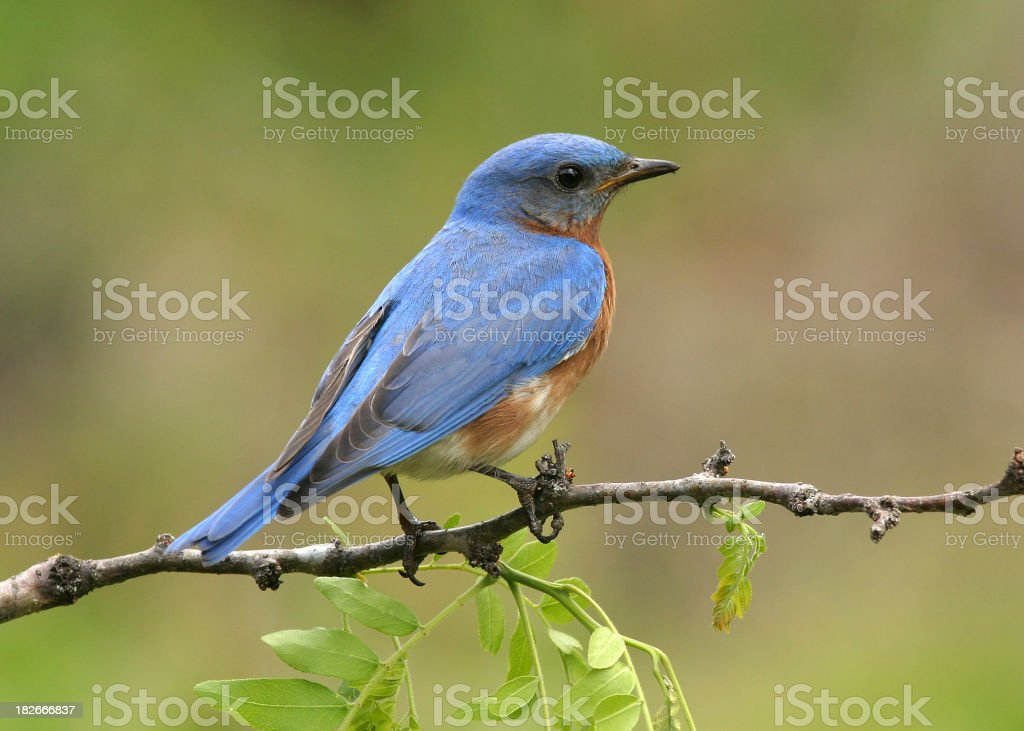 Male Eastern Blue Bird stock photo
