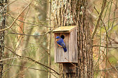 A male bluebird checking out a nesting box