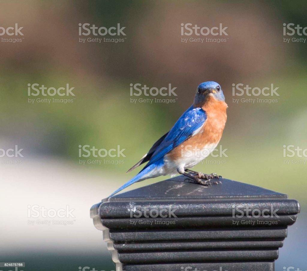 Male Eastern Bluebird on Post stock photo