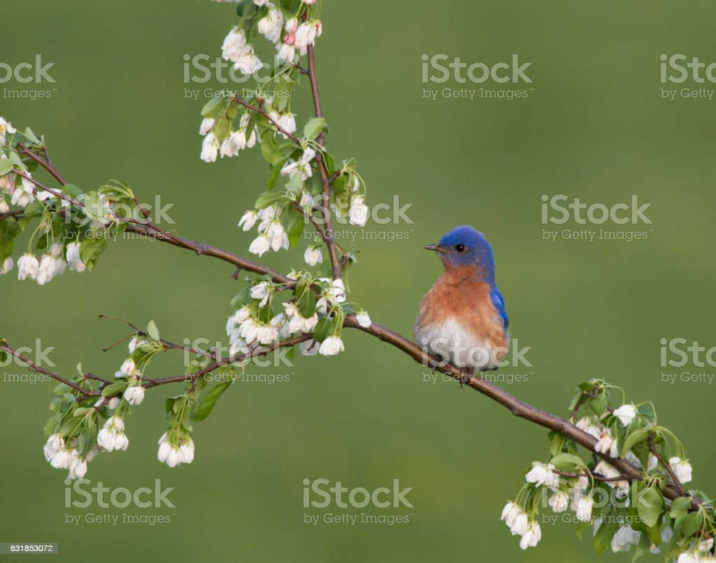 Male Eastern Bluebird Perched in White Blossoms stock photo