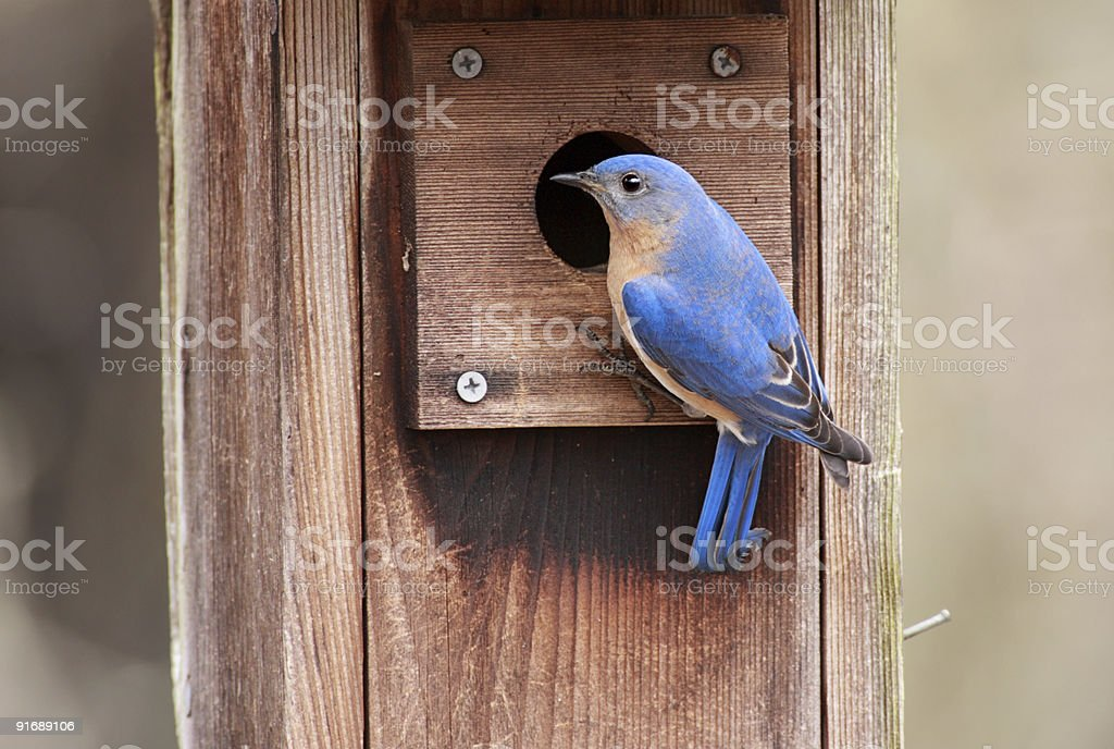 Male Eastern Bluebird (Sialia sialis) stock photo