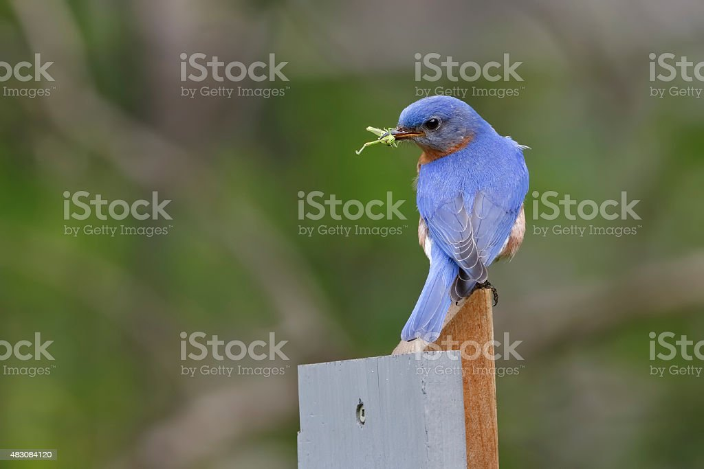 Male Eastern Bluebird with a Grasshopper in its Beak stock photo
