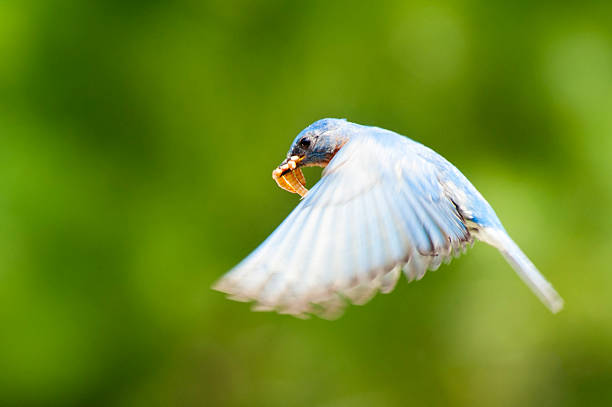 Male Eastern Bluebird with Mealworms stock photo