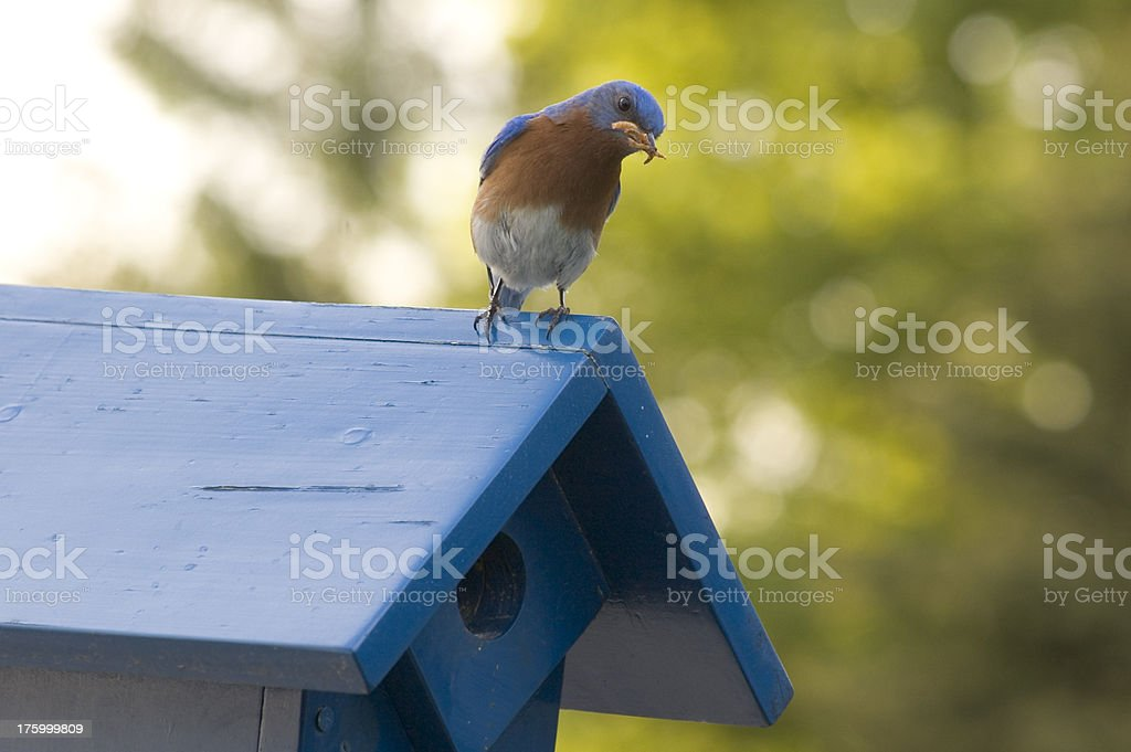 Male Eastern Bluebird with Mealworms royalty-free stock photo