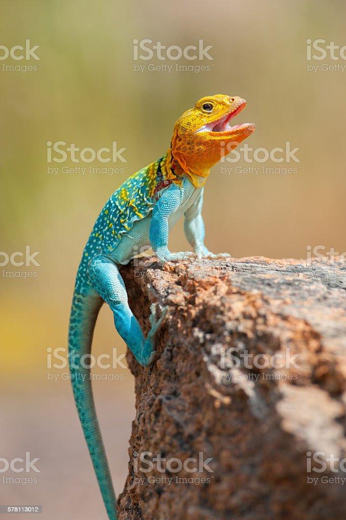 Male Eastern Collard Lizard Wichita Mountains Oklahoma - ウィチタ ...