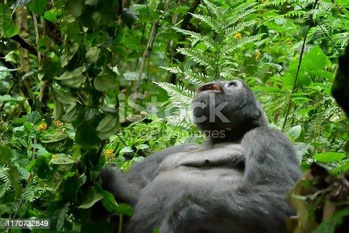 Portrait of a male gorilla.  More Gorilla images: