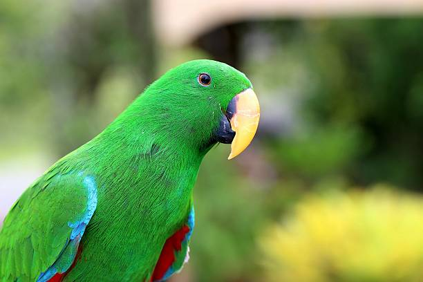 Best Male And Female Eclectus Parrots Stock Photos, Pictures