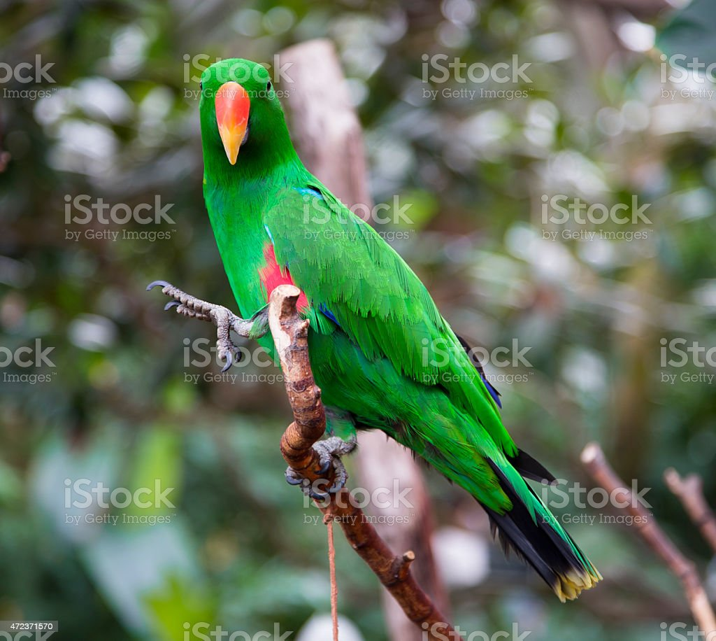 Male Electus Parrot stock photo