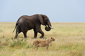 Two animals of the big five together during the big migration. Focus on elephant.
