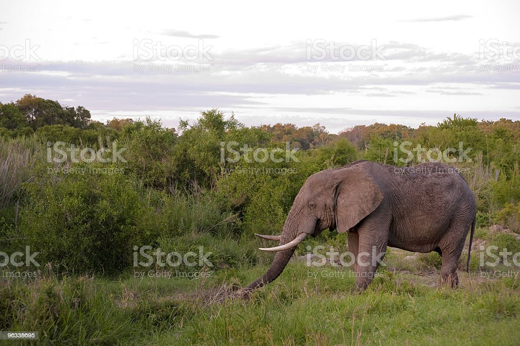 Male elephant in Kruger National park stock photo