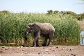 Male elephant in the reed of waterhole in Etosha National Park, Namibia Africa