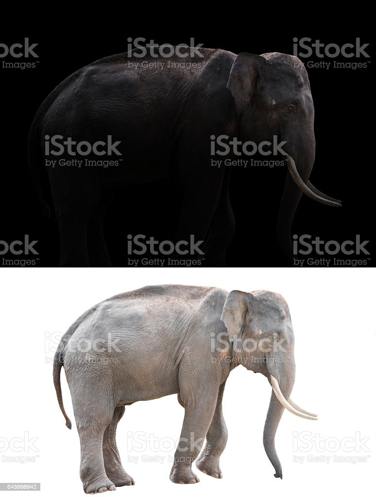 male elephant on dark and white background stock photo