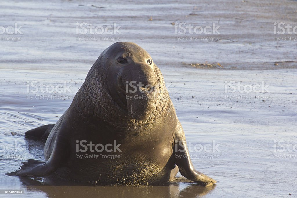 male Elephant Seal stock photo