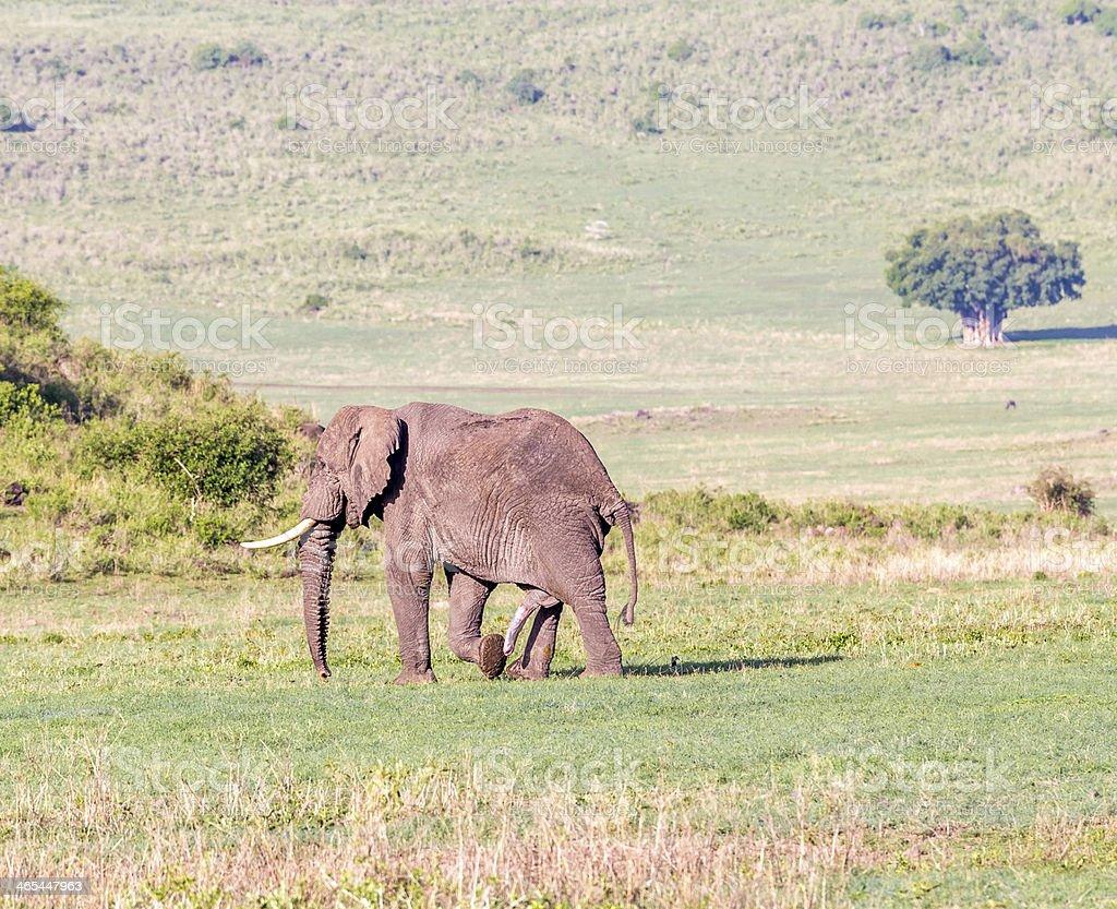 male elephant  walking along a savannah stock photo